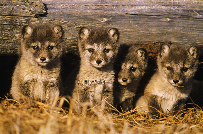Arctic Fox Pups, Alaska #9638