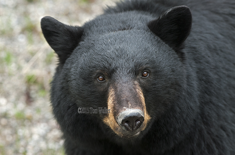 Black Bear Portrait, #0191