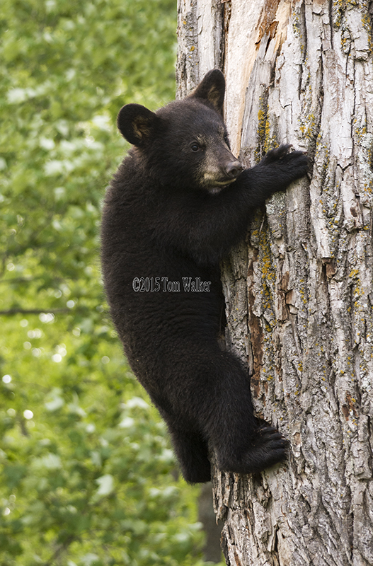Black bear cub in tree, #0181