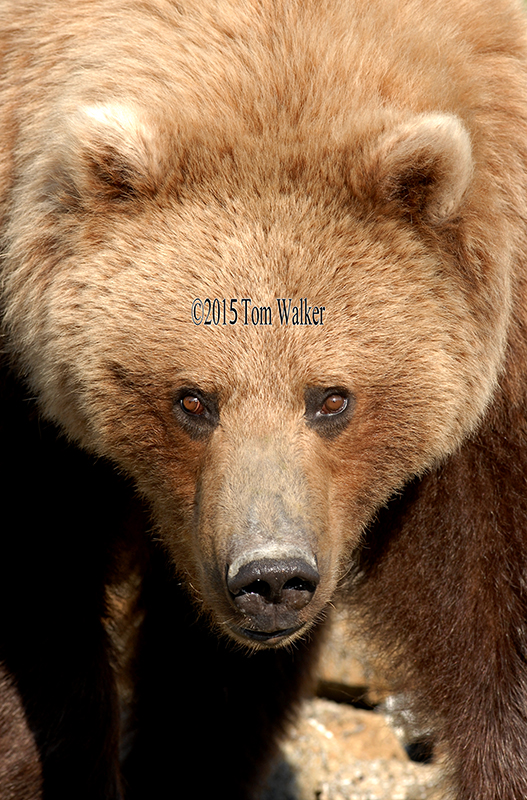 Brown Bear portrait, #0012