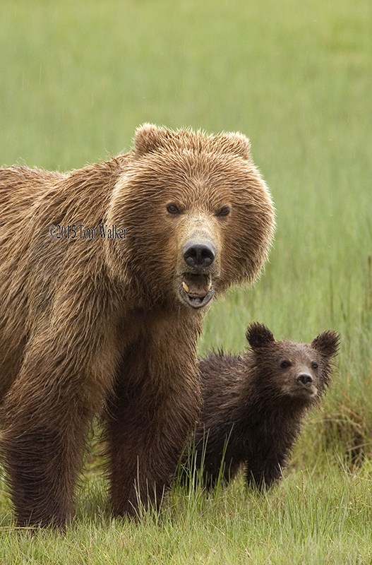 Brown Bear and Cub, #0273