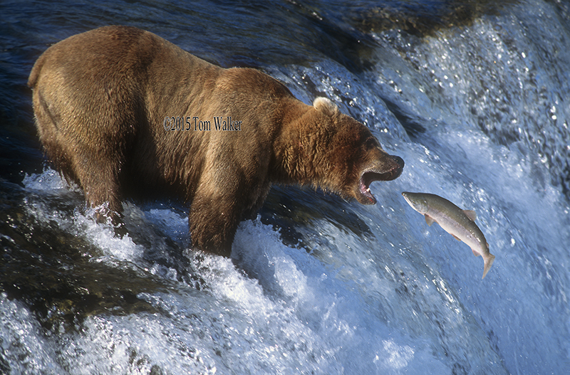 Brown Bear Fishing #2222