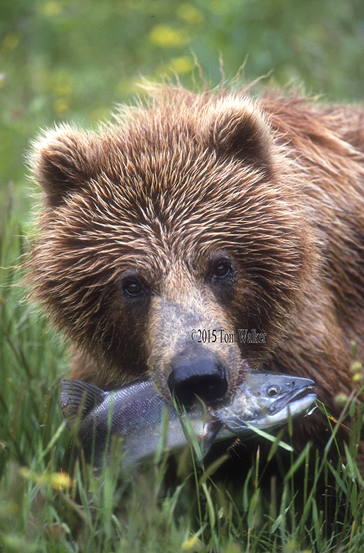 Brown bear with salmon, #4539.