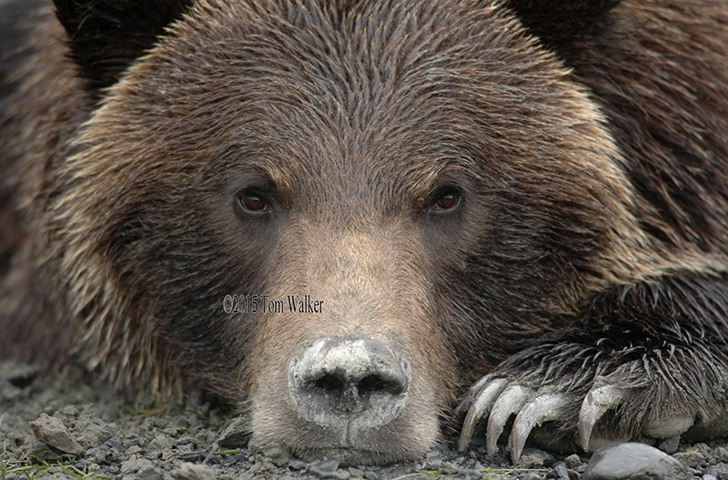 Brown Bear, Alaska #7030