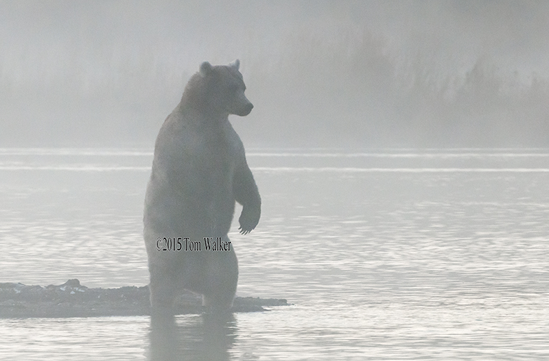 Brown Bear Foggy Dawn, #4743