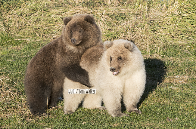 Brown Bear Cubs #0368