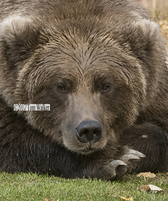 Brown Bear Portrait #V0907
