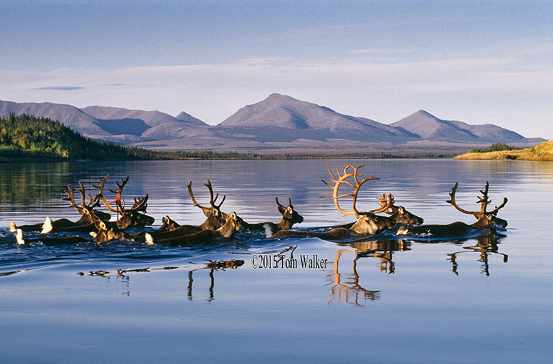 Caribou on the Kobuk River, #4492