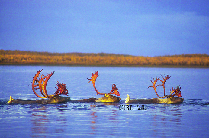 Caribou on the Kobuk River, #4873
