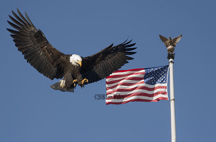 Bald eagle and US flag #0404