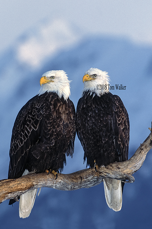 Bald eagle pair, Alaska #21358