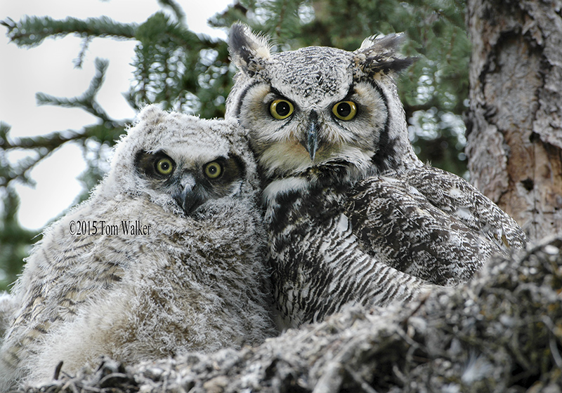 Great Horned Owl and Owlet, #0059