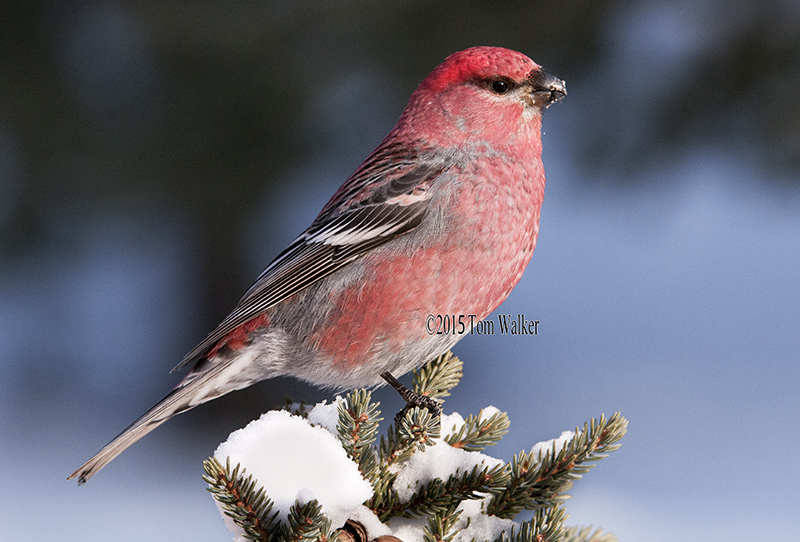 Pine Grosbeak, Alaska, #0165