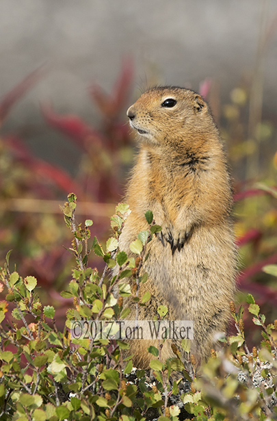 Arctic Ground Squirrel, #7575