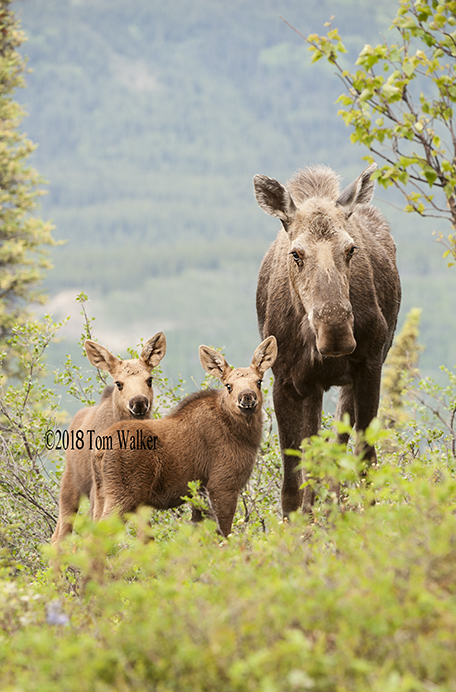 Moose Cow and Calves, #6904