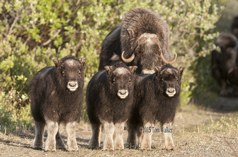 Alaska Muskox and calves, #6807
