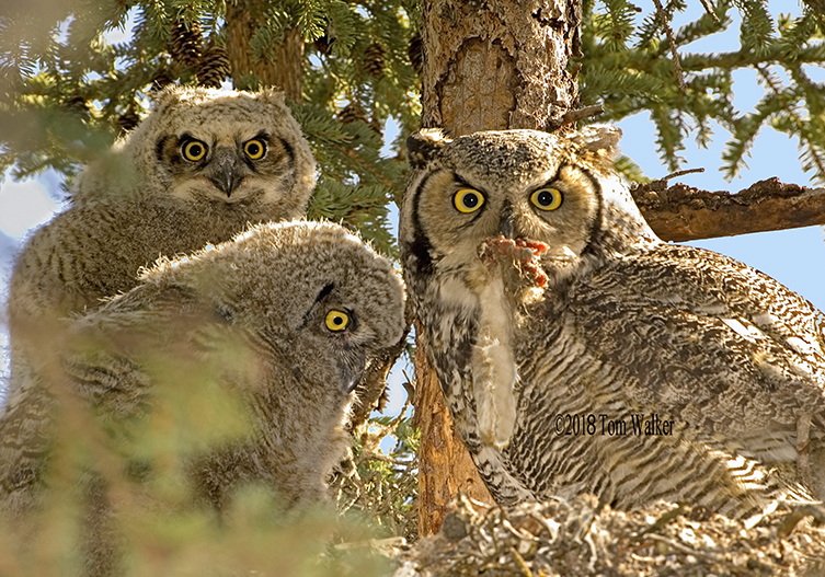 Great horned owls, Alaska #2402