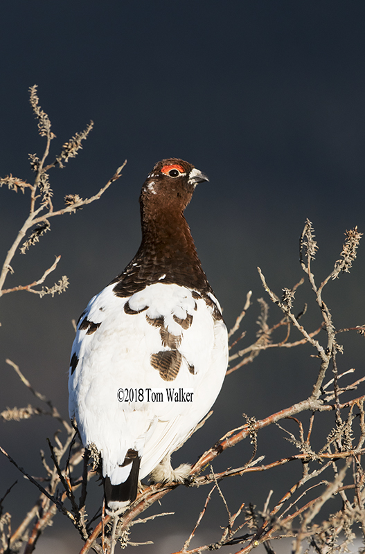 Willow ptarmigan, Alaska #3159