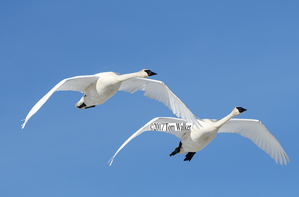 Trumpeter Swans #423