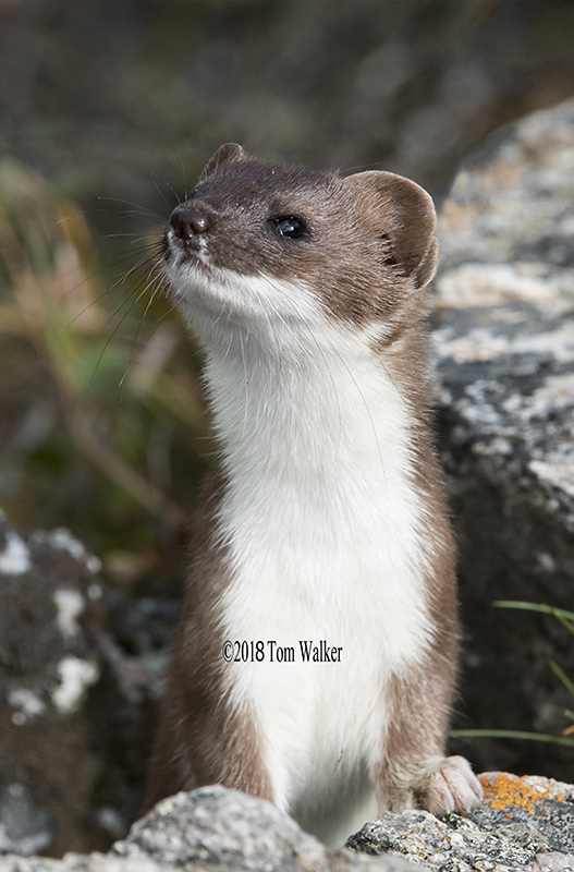 Long-tailed weasel, Alaska #7544
