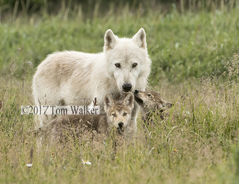 Alaska wolf mother and pups #253