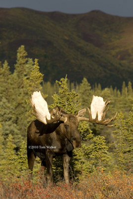 Bull Moose Afternoon