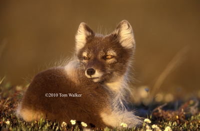Arctic Fox, Midnight Sun