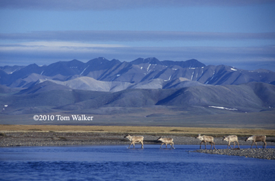 Caribou, Beaufort Sea Coast, Alaska