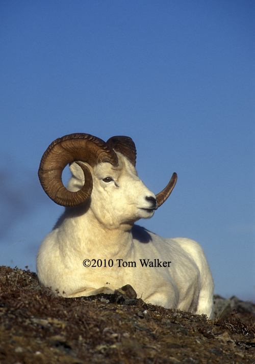 Dall Sheep Ram, Full Curl
