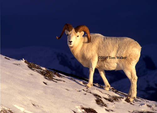 Early Winter Dall Ram