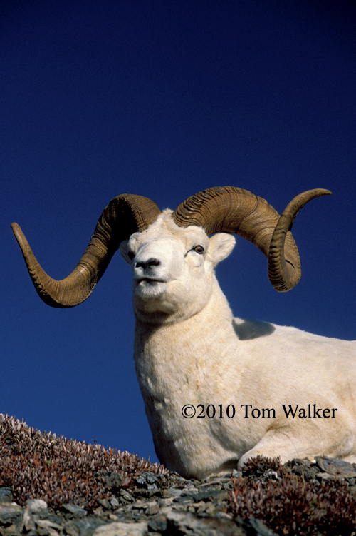 Very Large Dall Sheep Ram