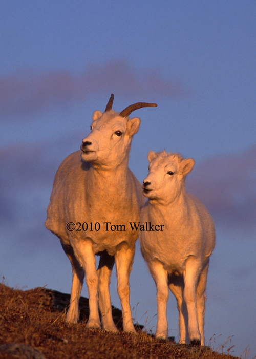 Dall sheep lamb and ewe