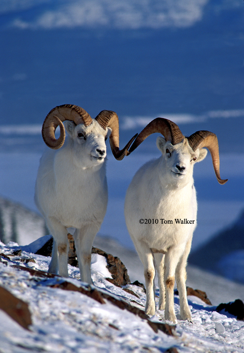 Winter Rams