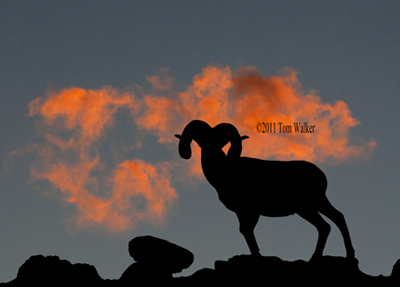 Dall Sheep Sunset,#354