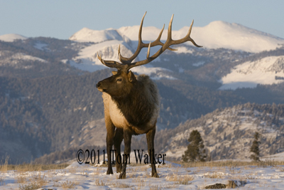 Winter Bull Elk, Wyoming