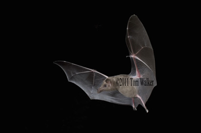 Bat, Night-flyer, Arizona