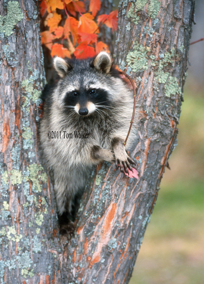 Raccoon, Autumn