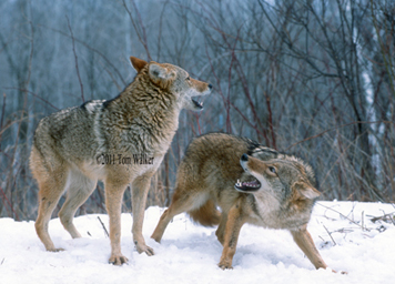 Coyote Pair, Winter, Play