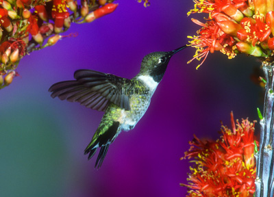 Black-chinned Hummingbird, Arizona