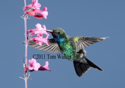 Broad-Billed Hummingbird, Arizona