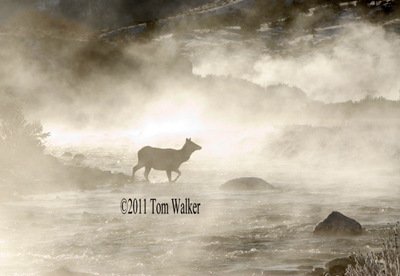 Cow Elk, Winter Fog, Wyoming