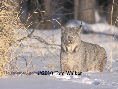 Lynx, Alaska, Evening Light