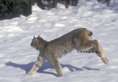 Lynx on the Run